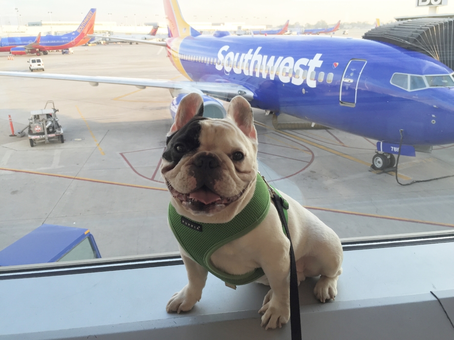 southwest emotional support animal policy