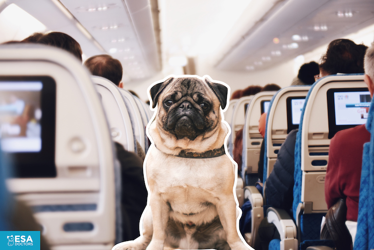 ESA dog in the cabin of an airplane. ESA Doctors airline image.