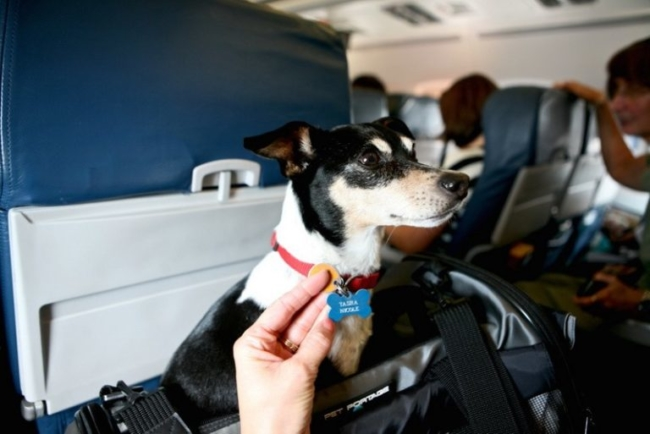 Emotional Support Dog on a flight with handler