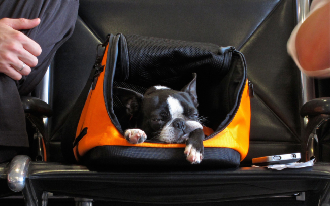 Most airlines will allow you to fly with a small dog in a carrier. - Fly with Your Dog Travel Guide - ESADoctors