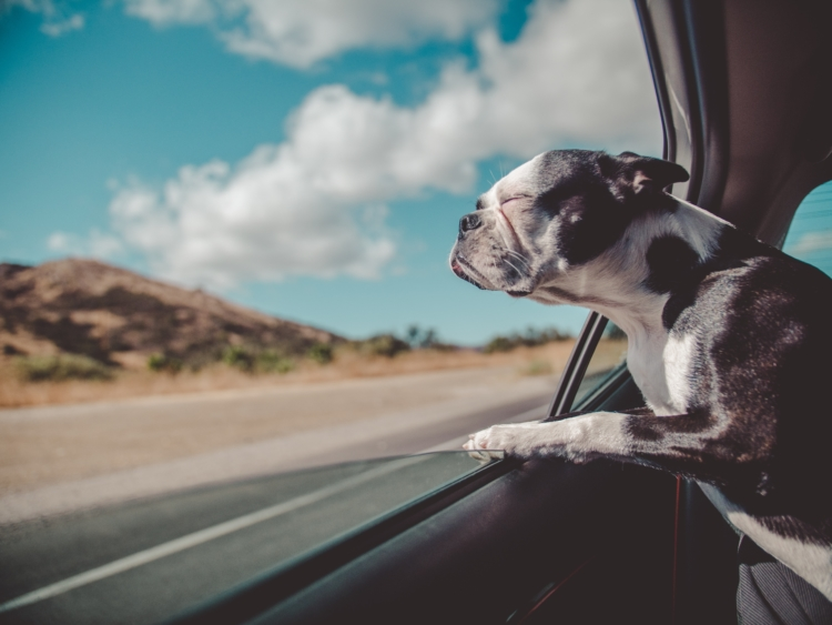 emotional support dog looking out the window