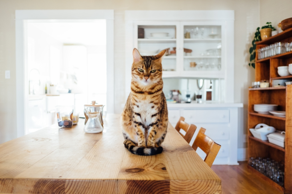 Emotional Support Cat on kitchen table