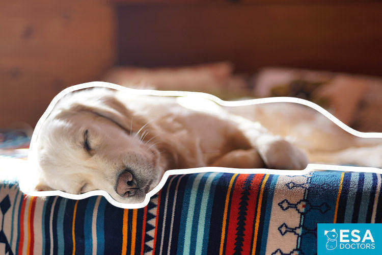 Emotional support dog at home sleeping on bed