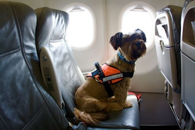 Emotional support dog traveling in an airplane.