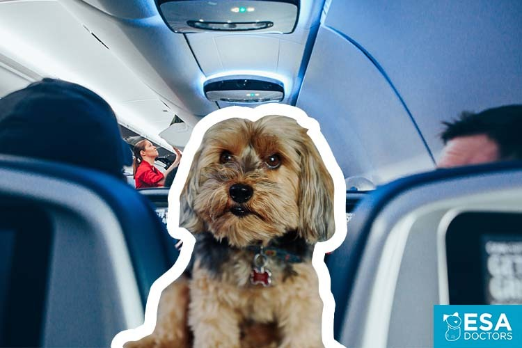 Air Travel emotional support dog.