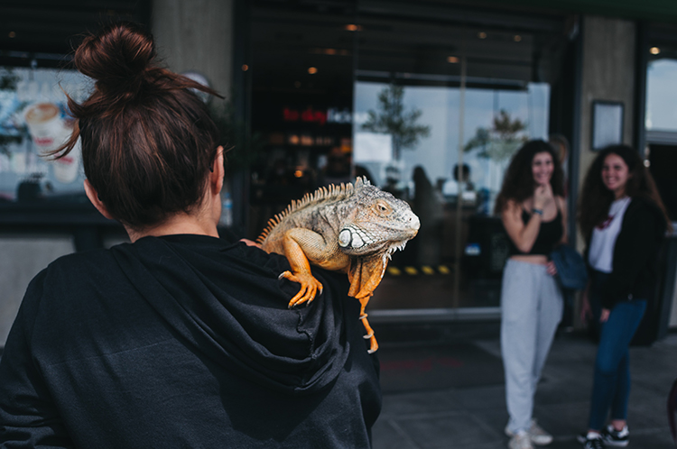 A iguana may be exotic but can make a great emotional support animal.