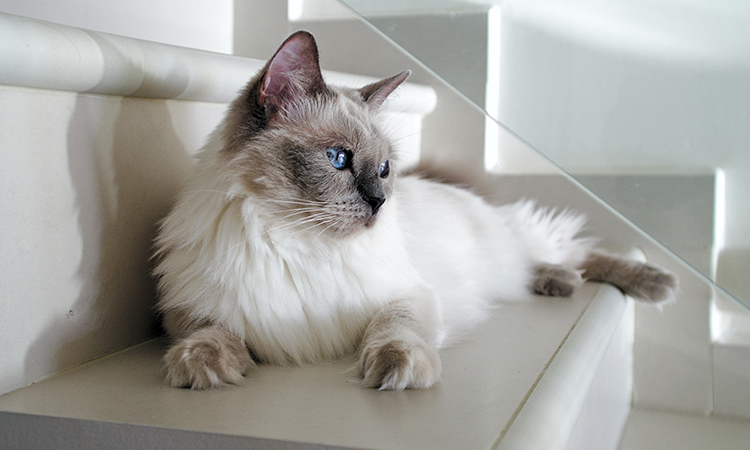 ESA Cat Ragdoll