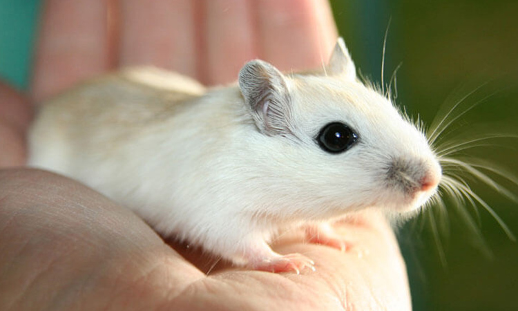 The tiny, cute gerbil loves social interaction, a trait that is often an advantage for emotional support animals.  - ESA Doctors