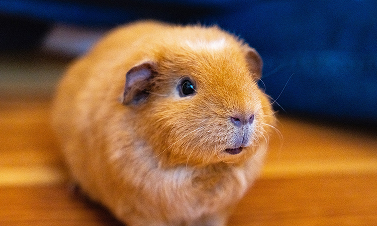 Guinea Pigs are affectionate and cuddly, making them the top emotional support rodent. - ESA Doctors