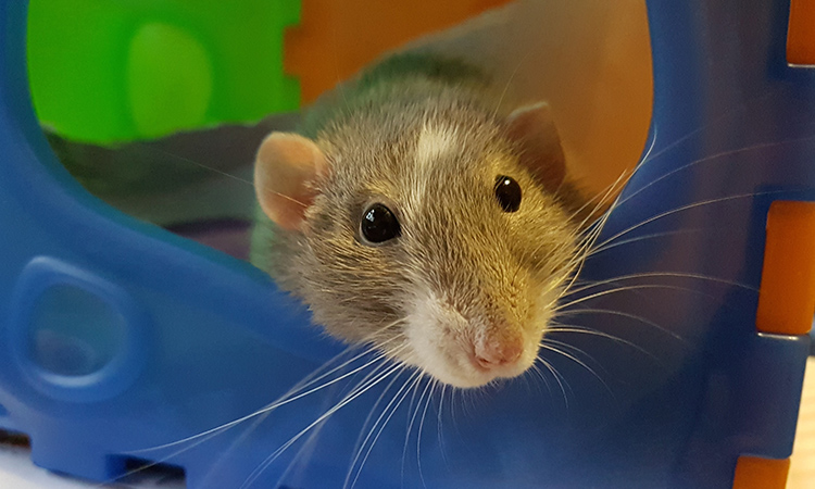 Pet rats are highly intelligent and calm and perfect emotional support animals. - ESA Doctors