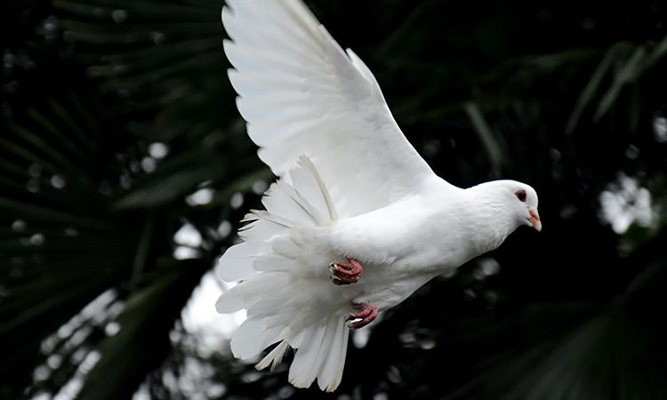 As emotional support animal the peaceful dove may soothe any emotional or mental distress. - ESA Doctors
