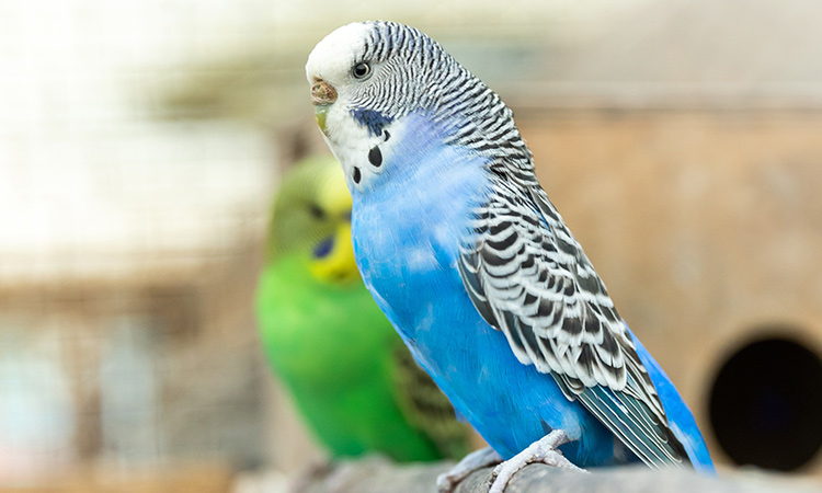 A parakeet is social and vocal, making a great companion as emotional support animal. - ESA Doctors