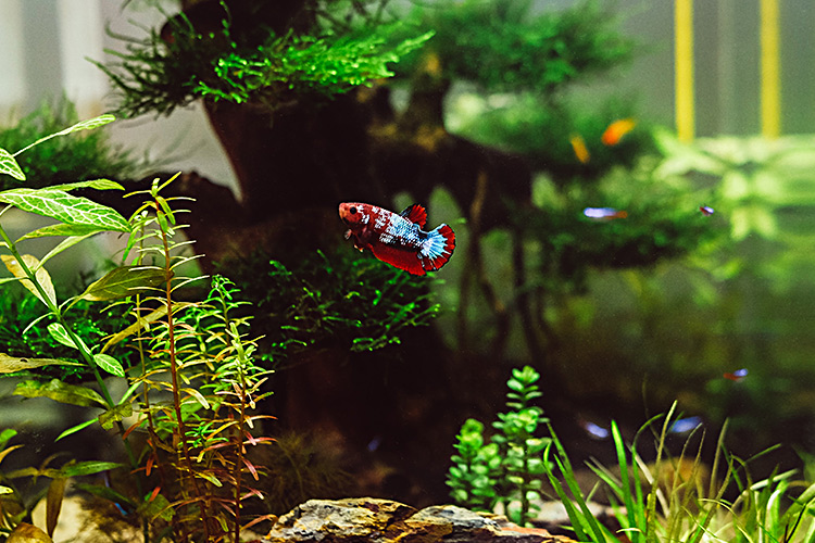 Thanks to an aquarium's peaceful nature and cleaning routine, pet fish are ideal emotional support animals to help with depression. - ESA Doctors