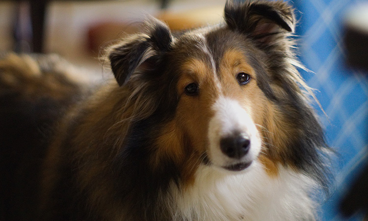 A Collie is intelligent and playful, ideal traits for being an ESA to an autistic child. - ESADoctors.com