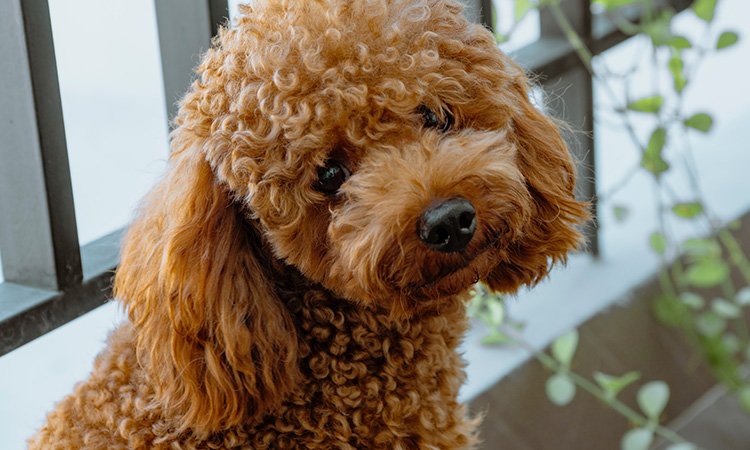 The gentle but intuitive Poodle makes for a great emotional support animal for children with autism. - ESADoctors.com