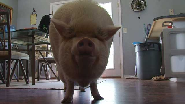 Wilbur, the Emotional Support Pig