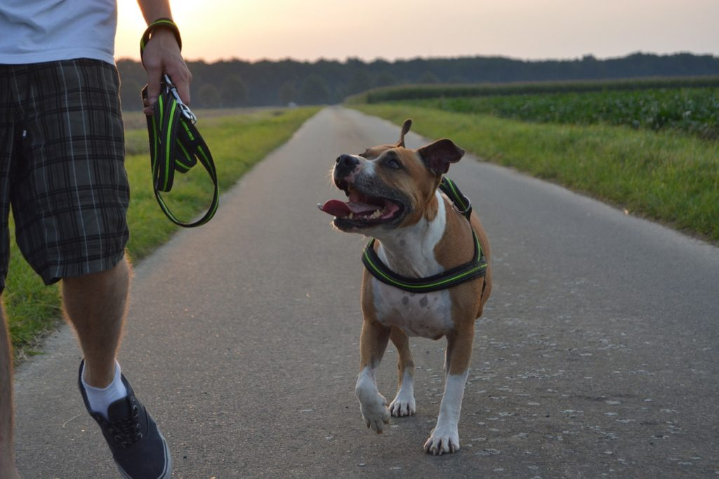 A service dog's off-leash training for public access