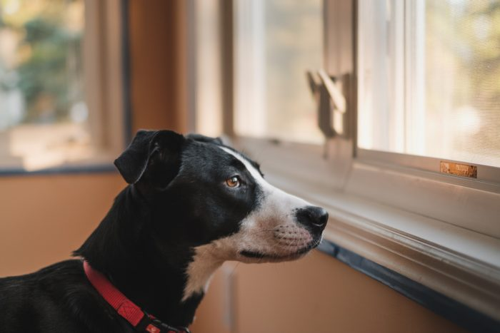 Service dog looking out a window.