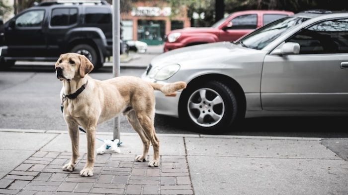 If your Service Dog is denied access, you may report the business to the ADA.