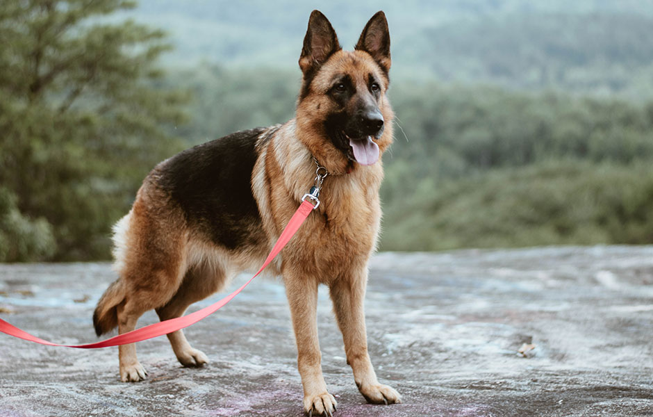 German Shepherds make great Service Dogs