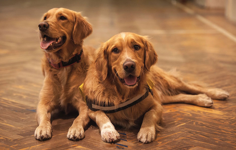 Golden Retrievers make perfect Service Dogs