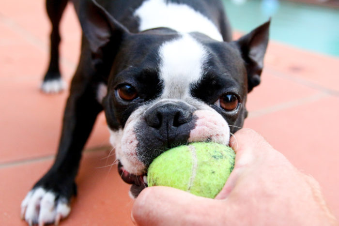 A tennis ball and food can make a great DYI toy for your service dog.