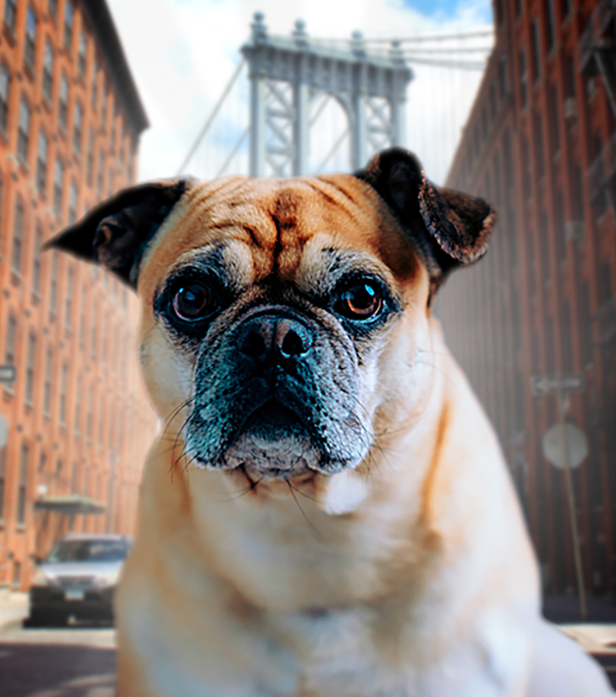 How to Register a Service Dog in New York