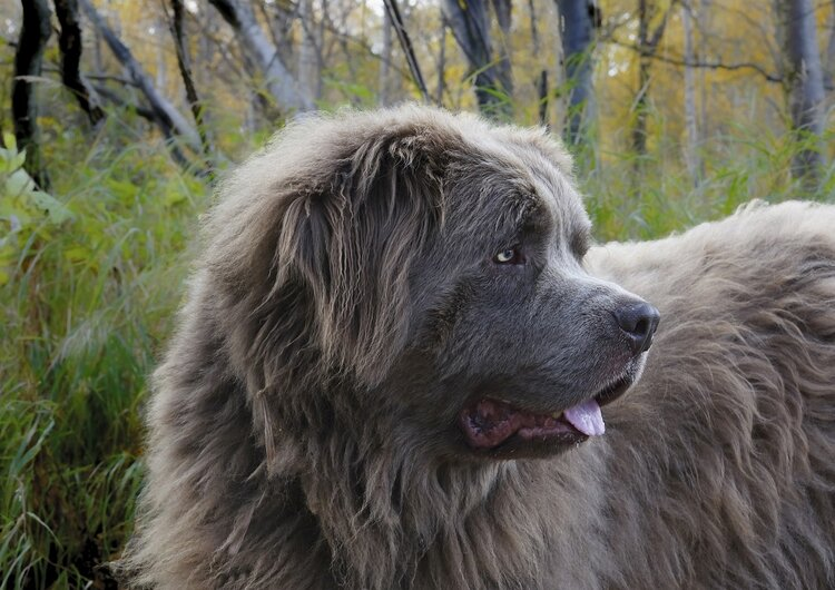 Newfoundlands are gentle giants that can support larger humans.
